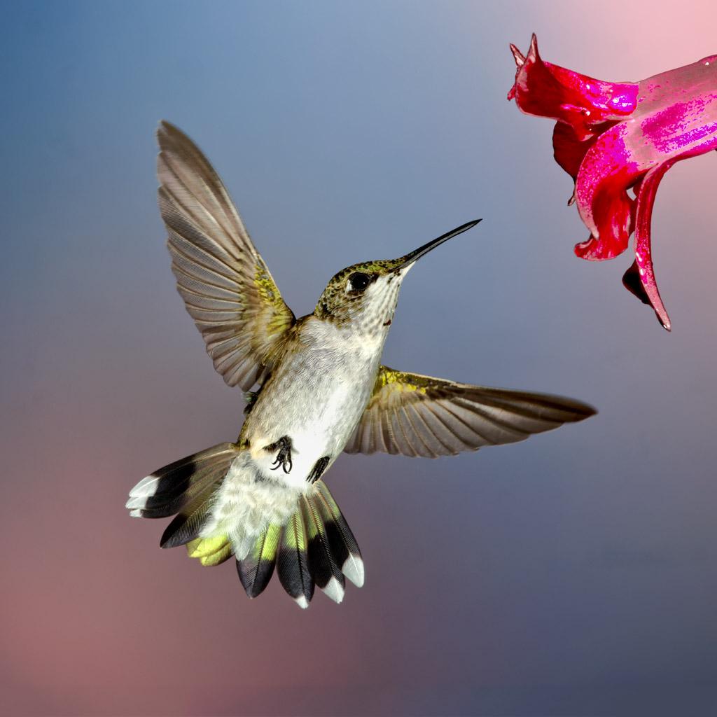 Hummingbirds Pastortimwalker
